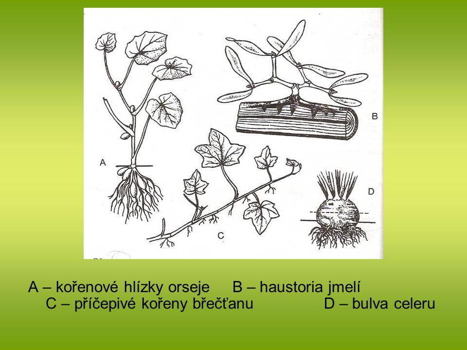 A – kořenové hlízky orseje B – haustoria jmelí C – příčepivé kořeny břečťanu D – bulva celeru