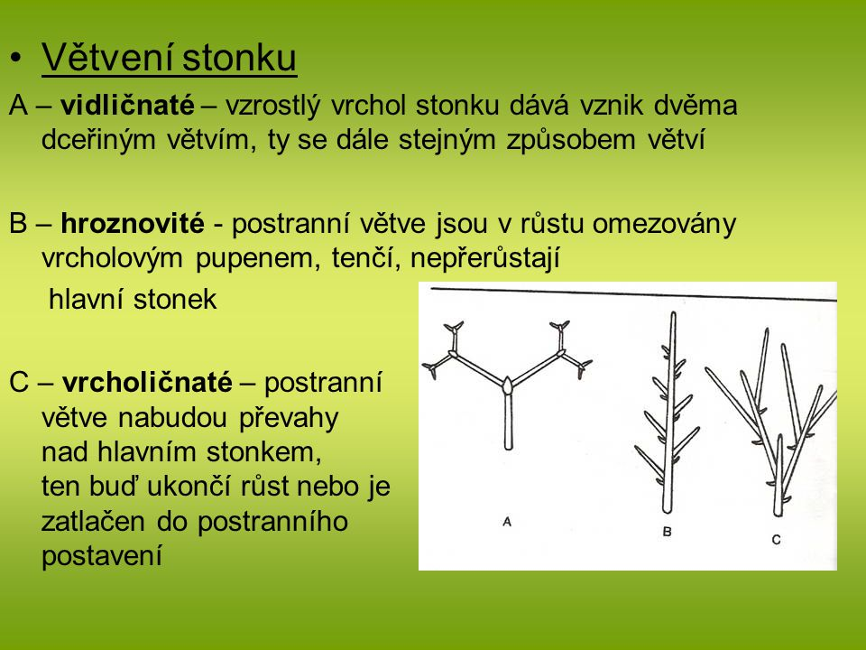 Větvení stonku A – vidličnaté – vzrostlý vrchol stonku dává vznik dvěma dceřiným větvím, ty se dále stejným způsobem větví.