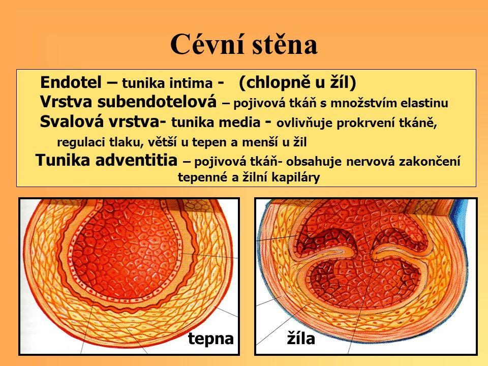 Cévní stěna Endotel – tunika intima - (chlopně u žíl)