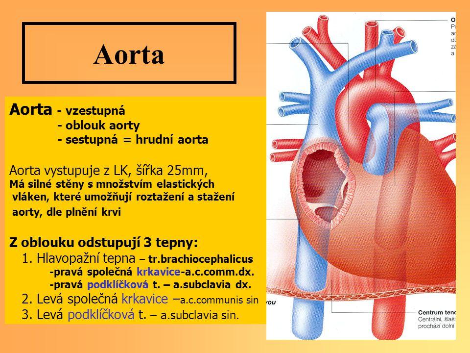 Aorta Aorta - vzestupná Aorta vystupuje z LK, šířka 25mm,