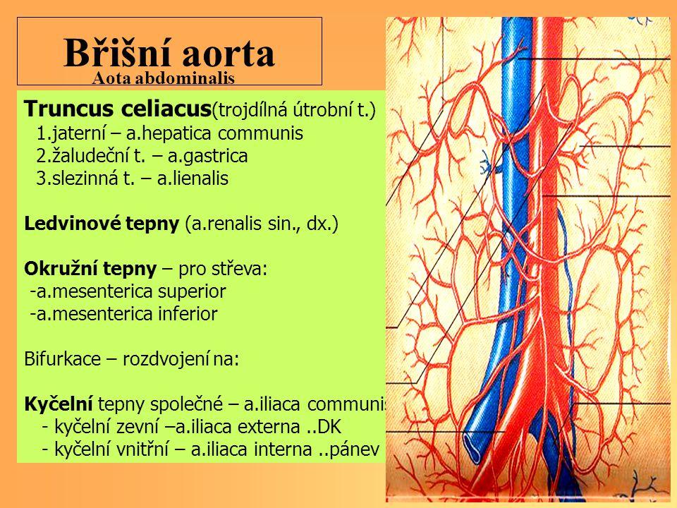 Břišní aorta Truncus celiacus(trojdílná útrobní t.) Aota abdominalis
