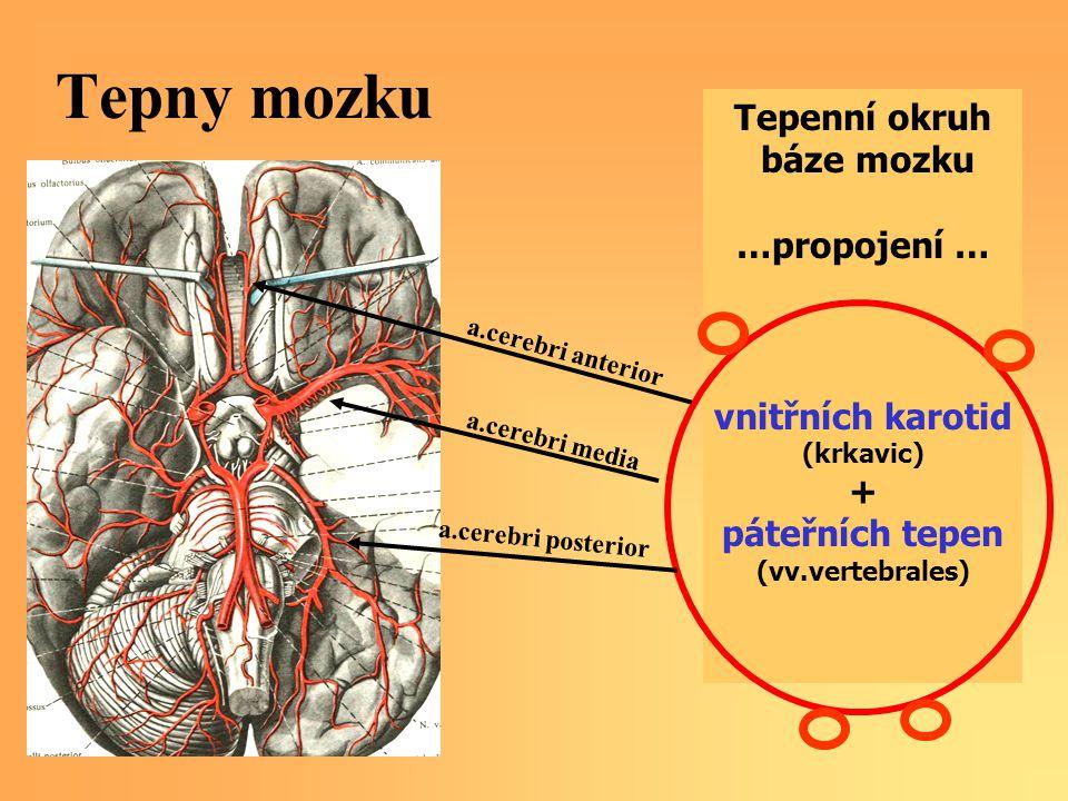 Tepny mozku Tepenní okruh báze mozku …propojení … vnitřních karotid +