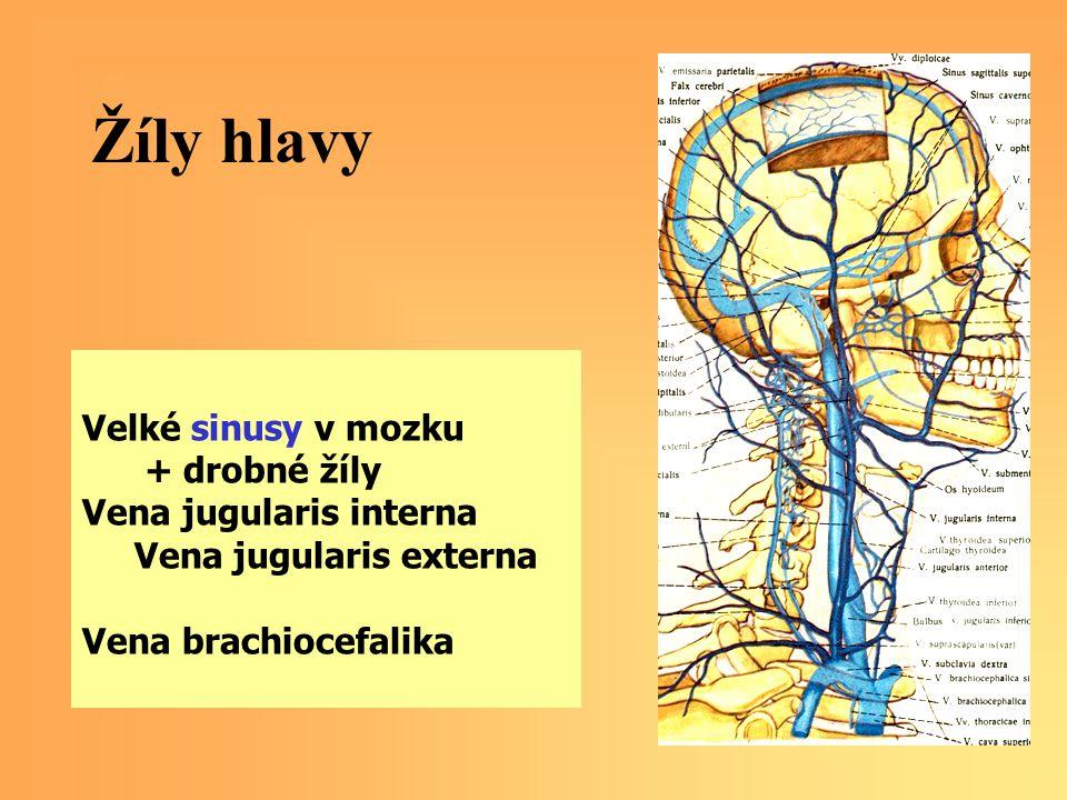 Žíly hlavy Velké sinusy v mozku + drobné žíly Vena jugularis interna