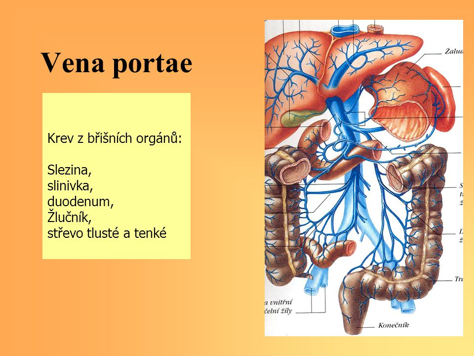 Vena portae Krev z břišních orgánů: Slezina, slinivka, duodenum,