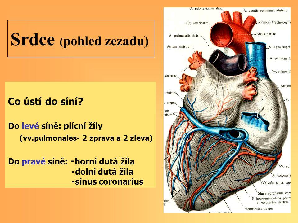 Srdce (pohled zezadu) Co ústí do síní