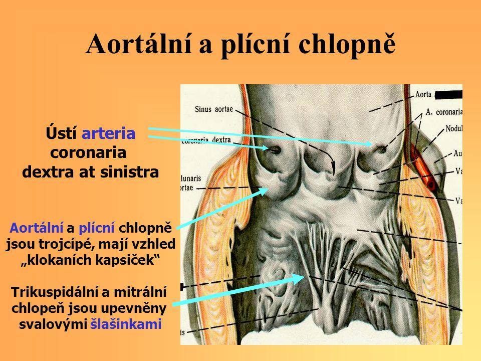 Aortální a plícní chlopně