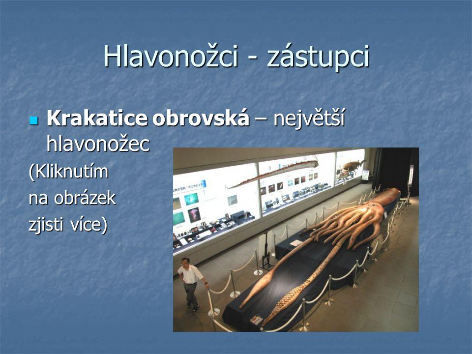 Hlavonožci - zástupci Krakatice obrovská – největší hlavonožec