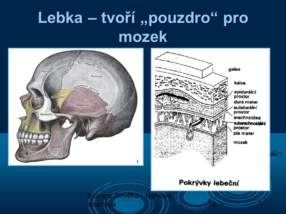 """Lebka – tvoří """"pouzdro pro mozek"""