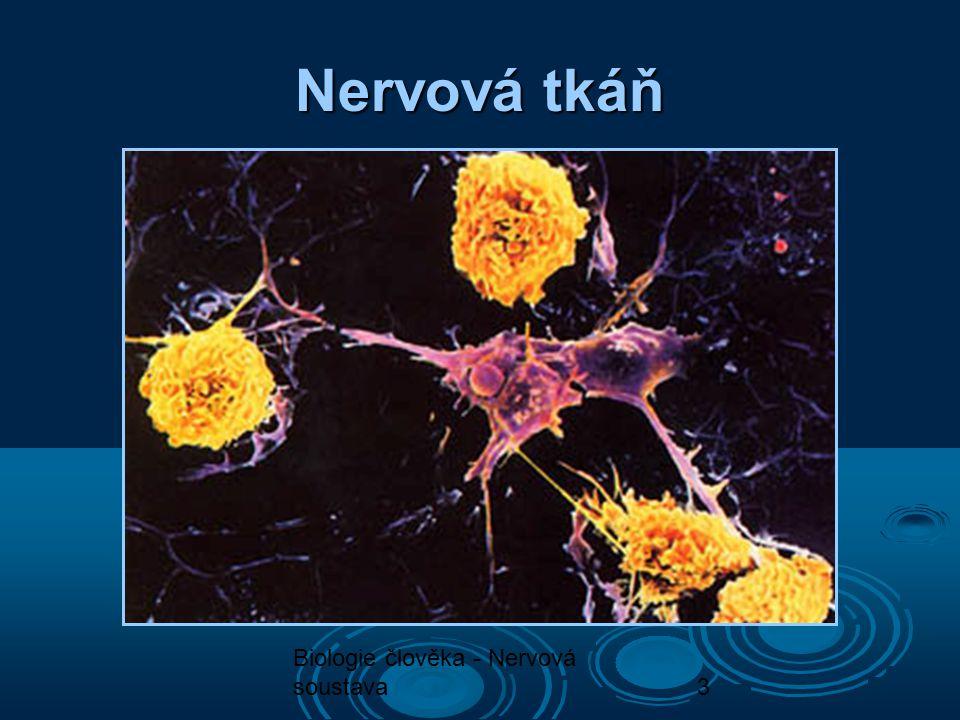 Nervová tkáň Biologie člověka - Nervová soustava