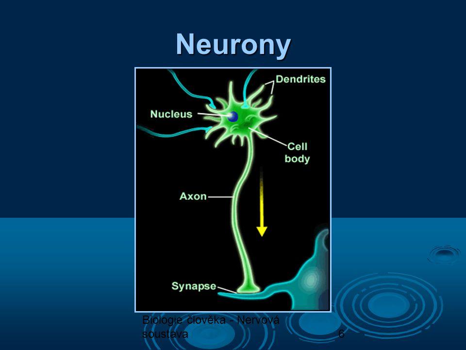 Neurony Biologie člověka - Nervová soustava