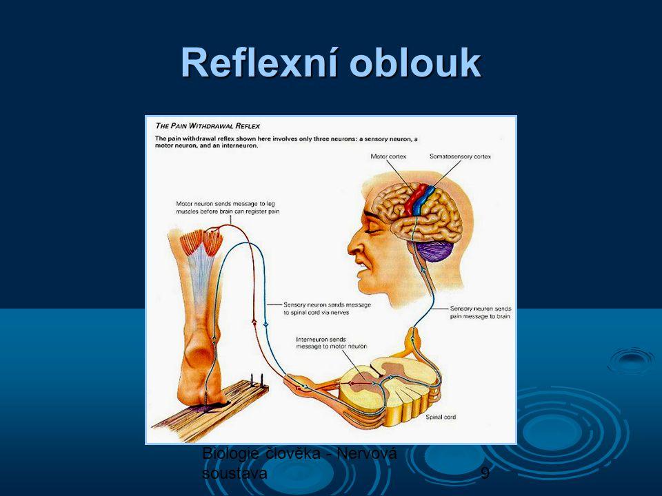 Reflexní oblouk Biologie člověka - Nervová soustava