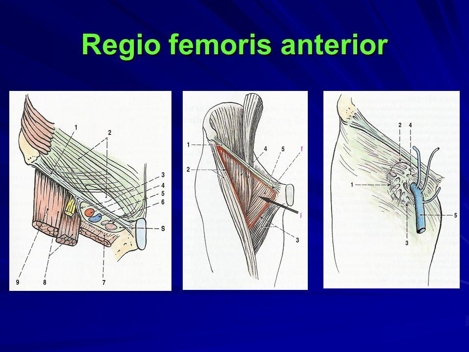 Regio femoris anterior