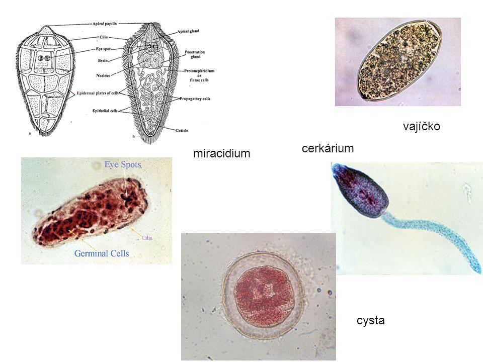 vajíčko cerkárium miracidium cysta