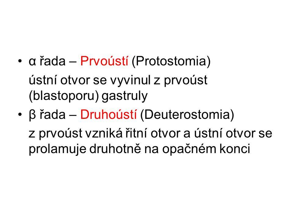 α řada – Prvoústí (Protostomia)
