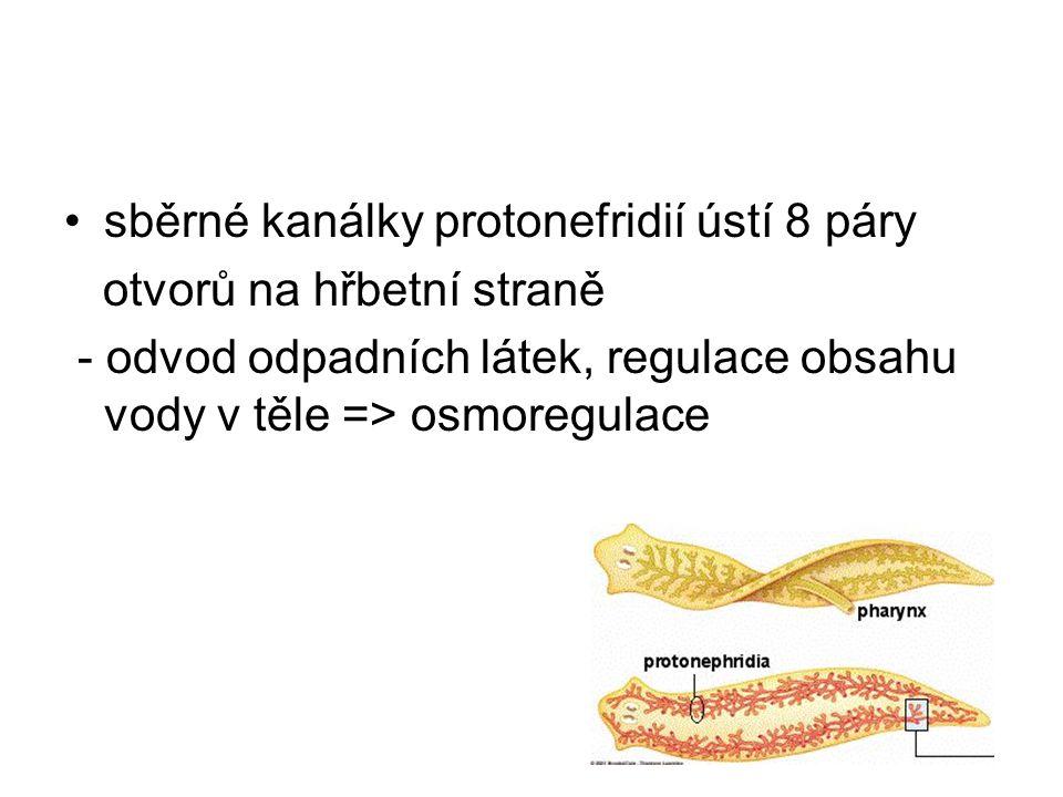 sběrné kanálky protonefridií ústí 8 páry