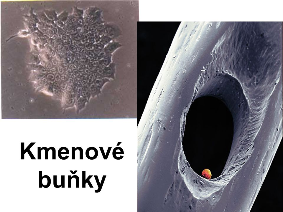 Kmenové buňky
