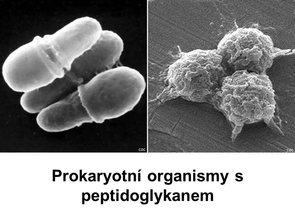 Prokaryotní organismy s peptidoglykanem