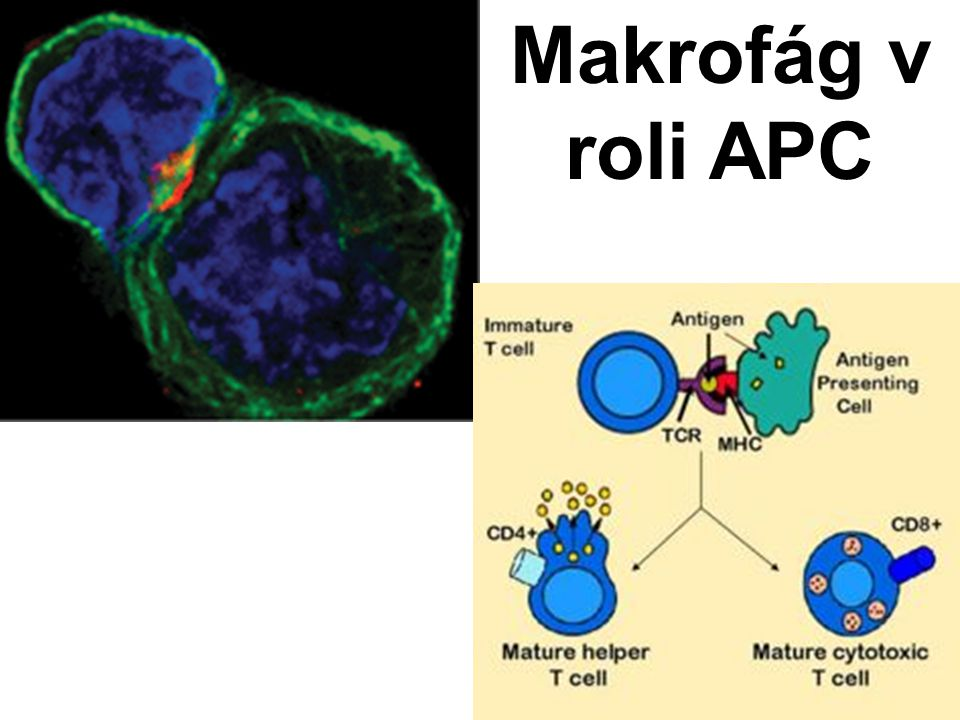 Makrofág v roli APC