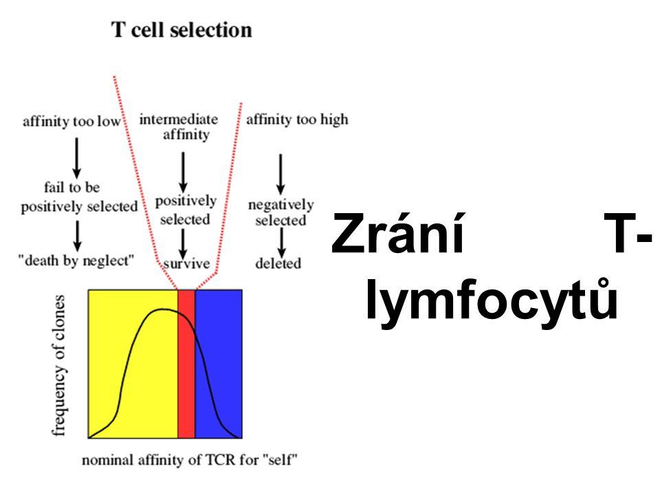 Zrání T-lymfocytů