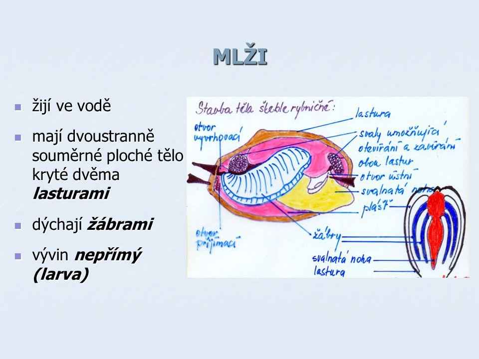 MLŽI žijí ve vodě. mají dvoustranně souměrné ploché tělo kryté dvěma lasturami.