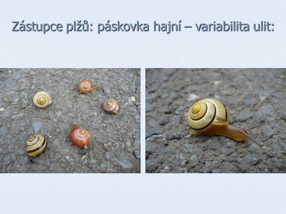 Zástupce plžů: páskovka hajní – variabilita ulit: