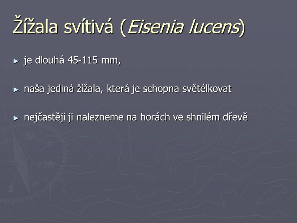 Žížala svítivá (Eisenia lucens)