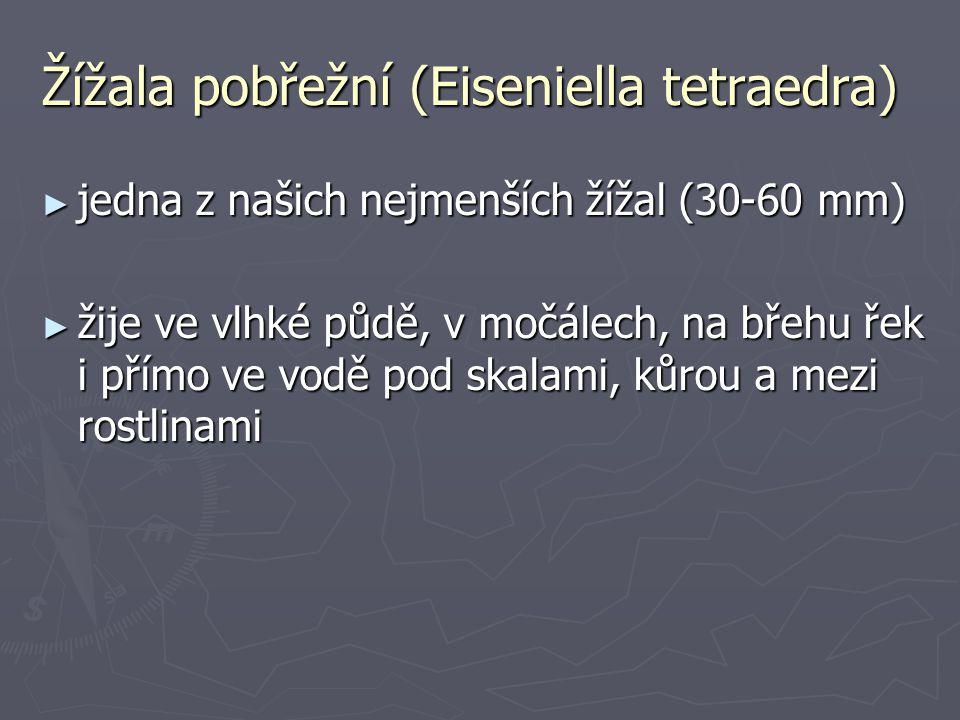 Žížala pobřežní (Eiseniella tetraedra)