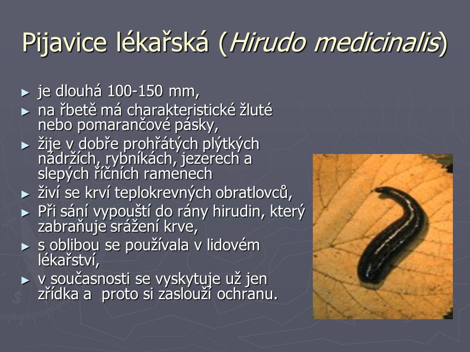 Pijavice lékařská (Hirudo medicinalis)