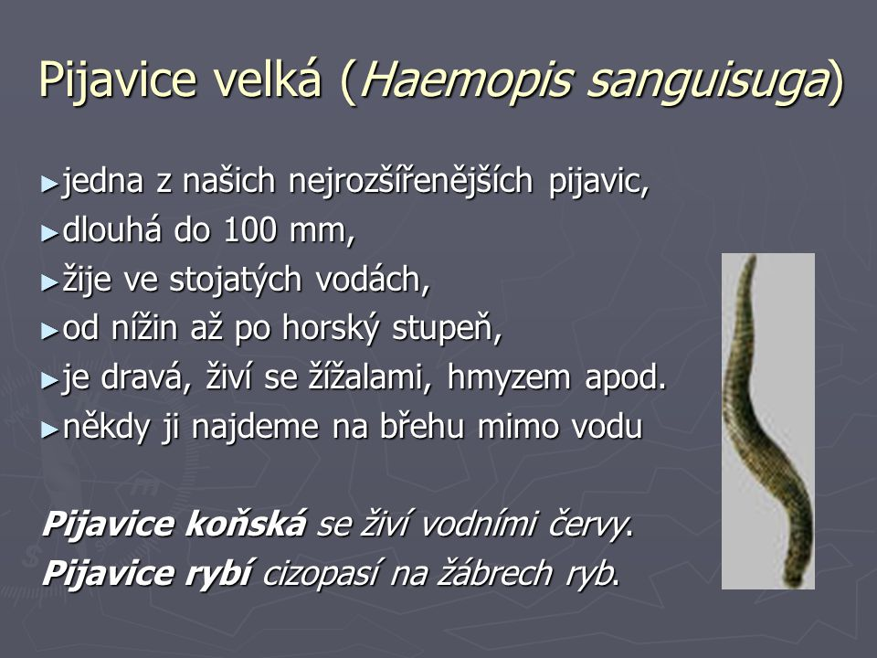 Pijavice velká (Haemopis sanguisuga)