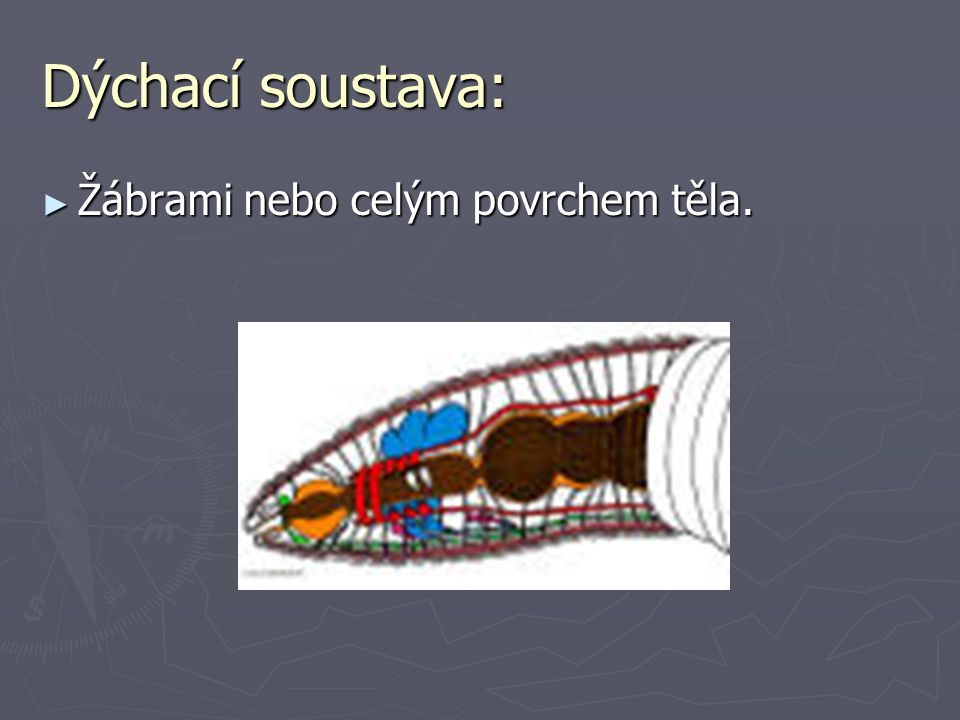 Dýchací soustava: Žábrami nebo celým povrchem těla.