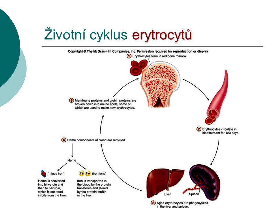 Životní cyklus erytrocytů