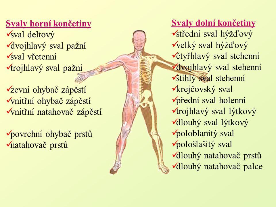 Svaly horní končetiny sval deltový. dvojhlavý sval pažní. sval vřetenní. trojhlavý sval pažní. zevní ohybač zápěstí.