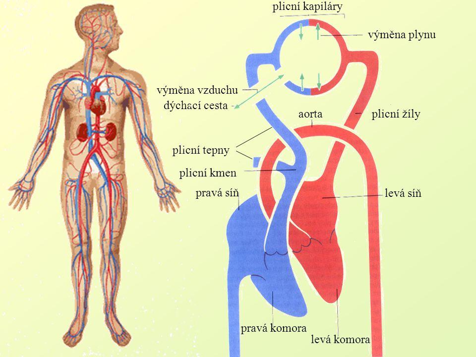 plicní kapiláry aorta. plicní žíly. levá síň. levá komora. pravá komora. plicní kmen. pravá síň.