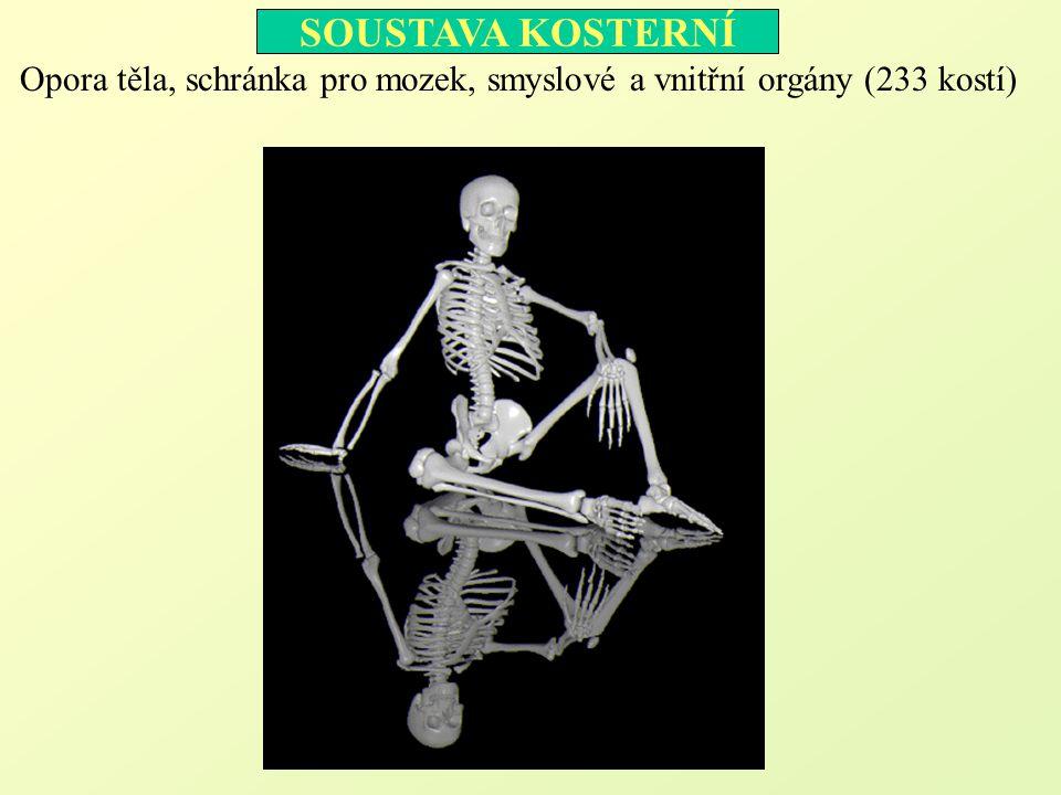 Opora těla, schránka pro mozek, smyslové a vnitřní orgány (233 kostí)