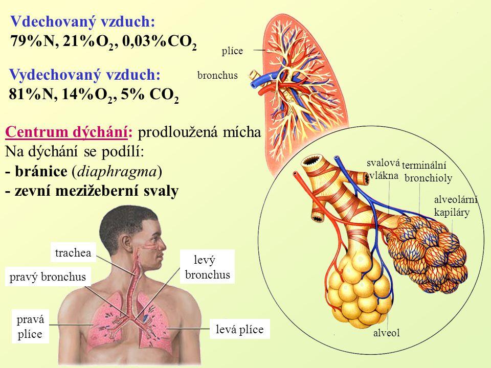Centrum dýchání: prodloužená mícha Na dýchání se podílí: