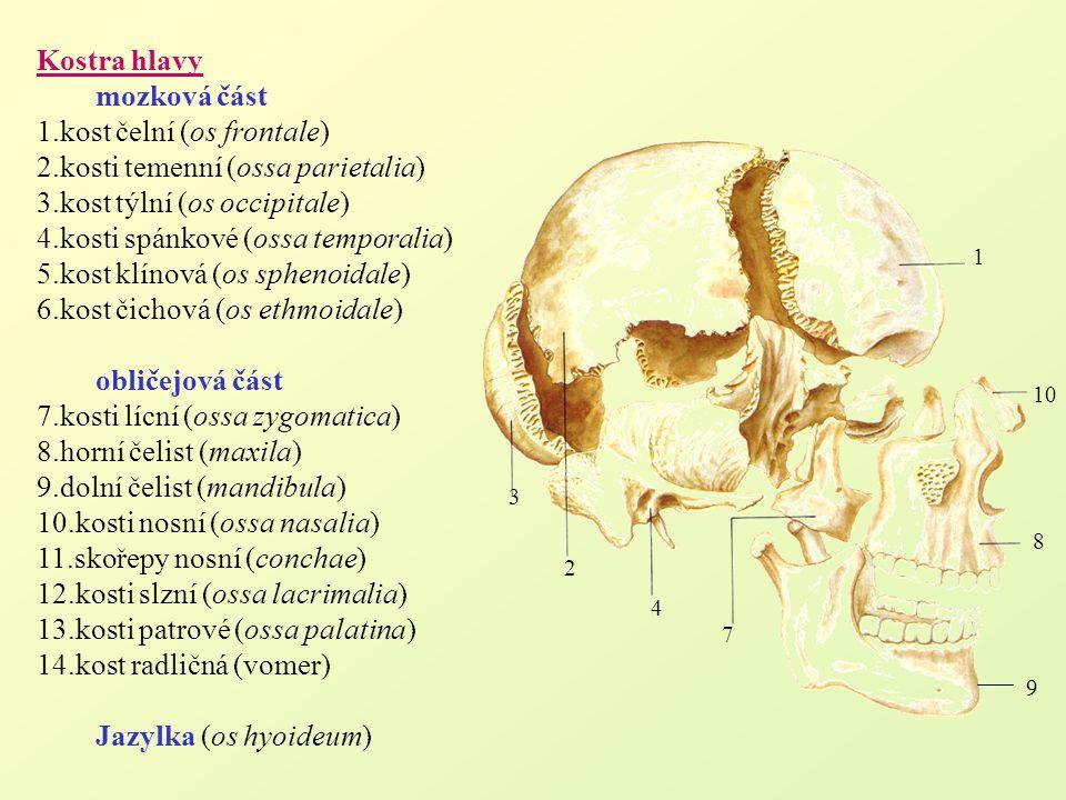 1.kost čelní (os frontale) 2.kosti temenní (ossa parietalia)