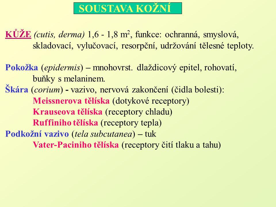 KŮŽE (cutis, derma) 1,6 - 1,8 m2, funkce: ochranná, smyslová,