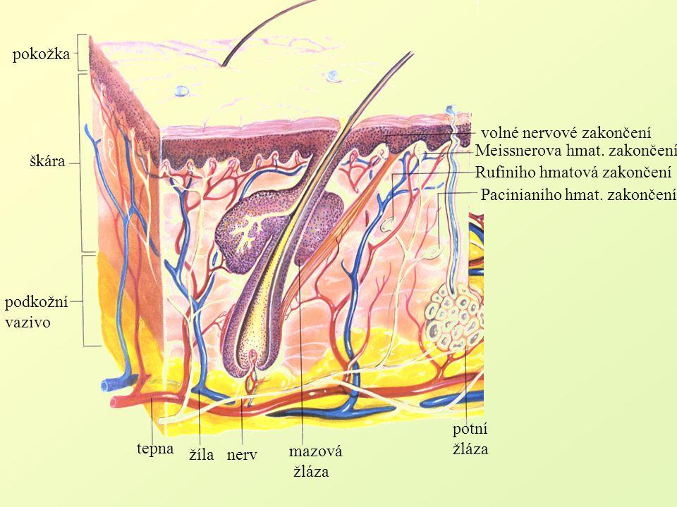 pokožka volné nervové zakončení. Meissnerova hmat. zakončení. škára. Rufiniho hmatová zakončení.
