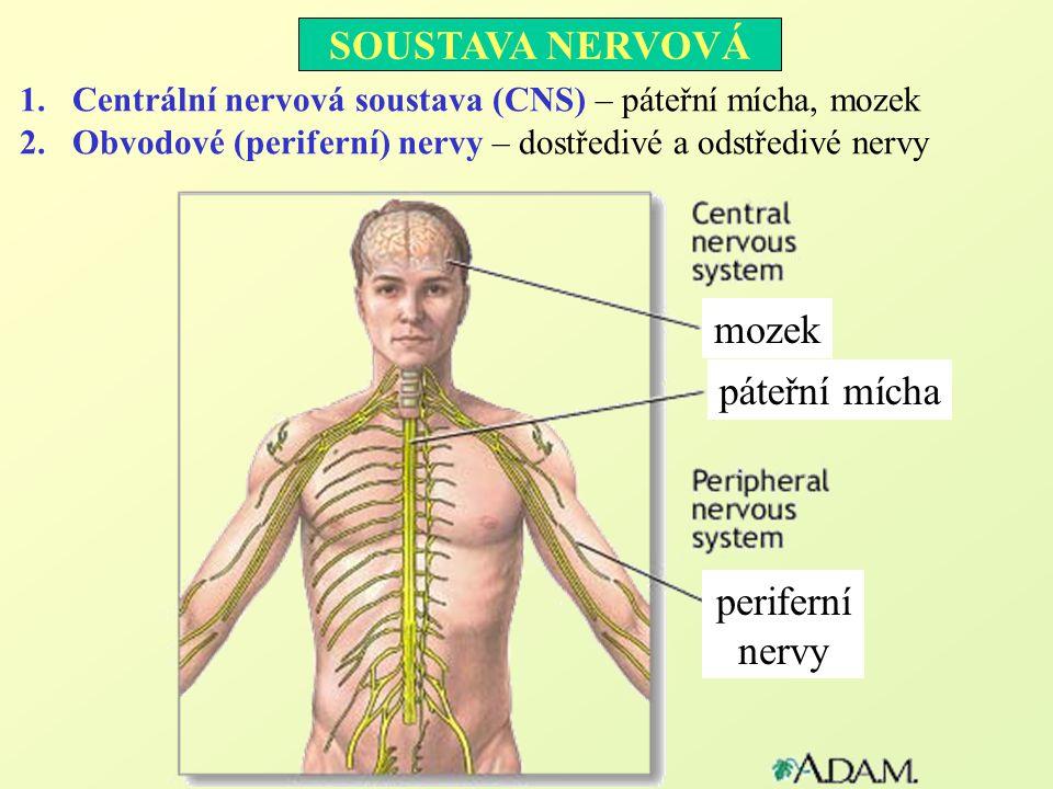SOUSTAVA NERVOVÁ mozek páteřní mícha periferní nervy