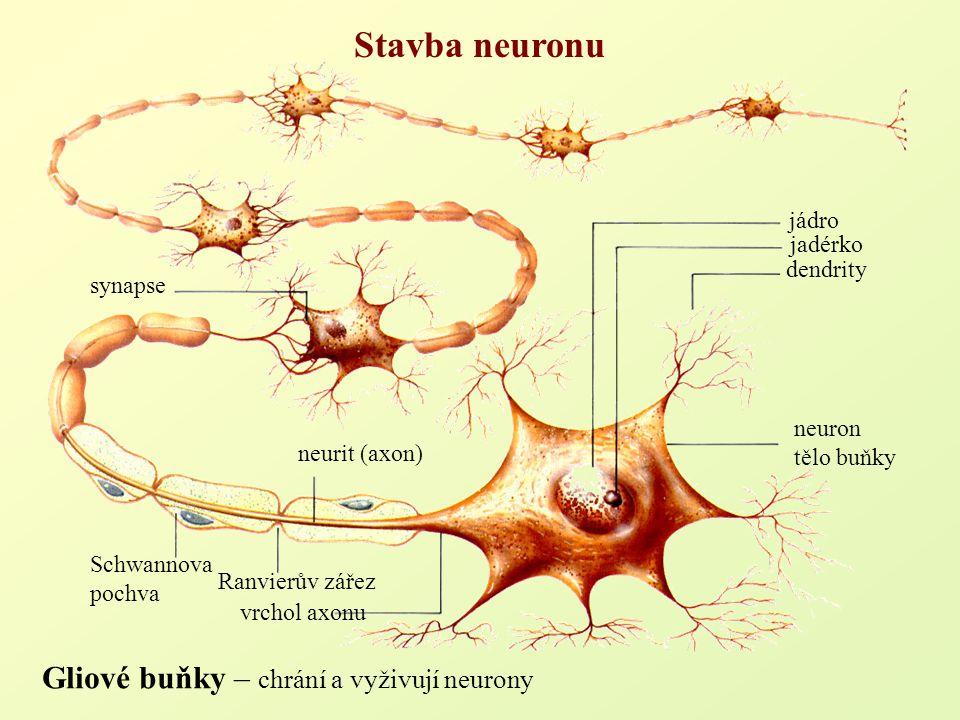 Gliové buňky – chrání a vyživují neurony