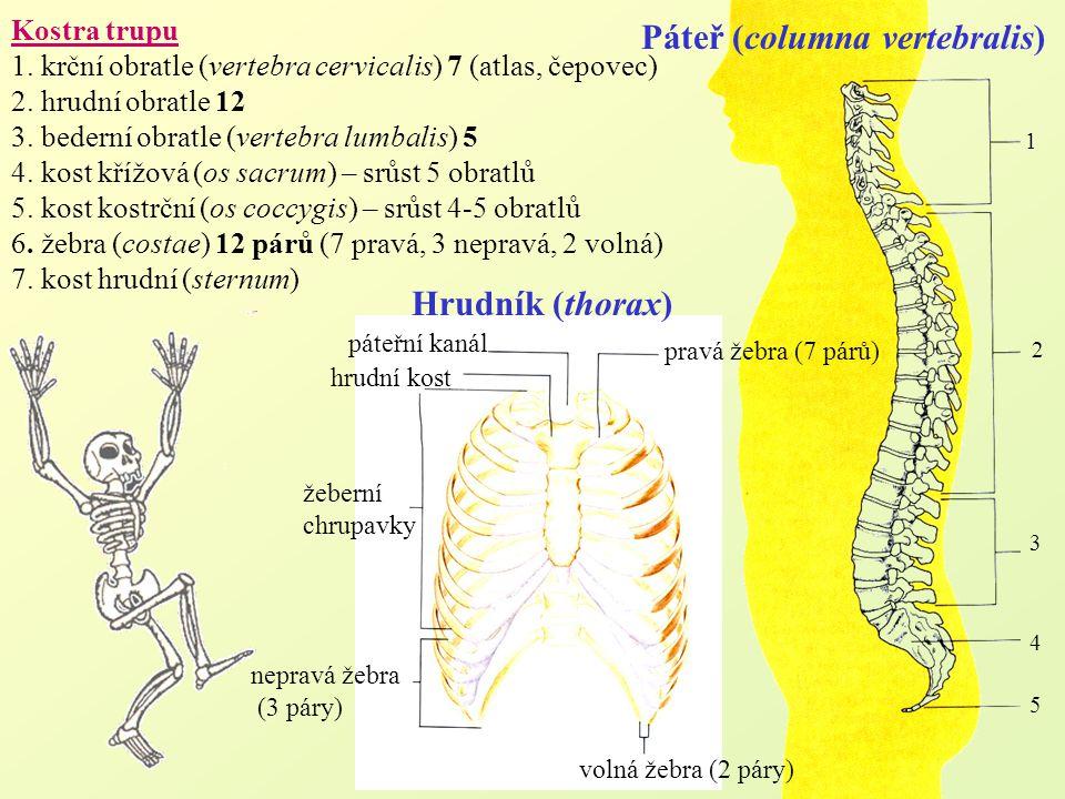 Páteř (columna vertebralis)