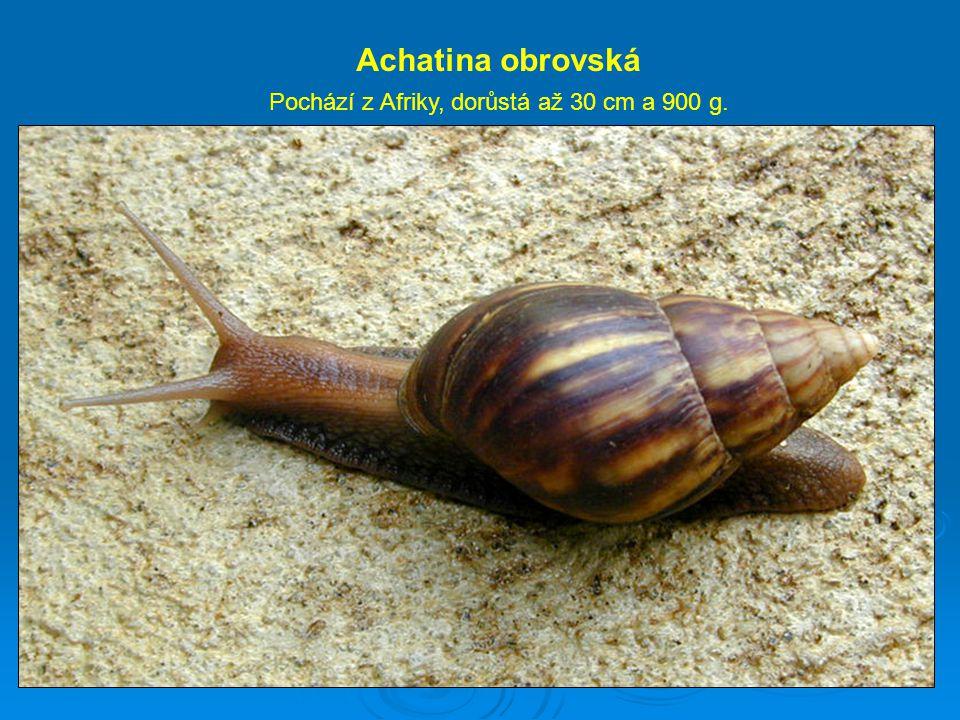 Achatina obrovská Pochází z Afriky, dorůstá až 30 cm a 900 g.
