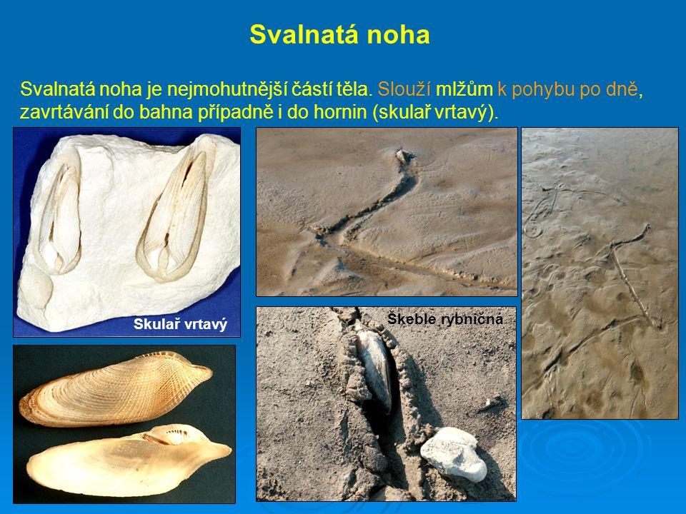 Svalnatá noha Svalnatá noha je nejmohutnější částí těla. Slouží mlžům k pohybu po dně, zavrtávání do bahna případně i do hornin (skulař vrtavý).