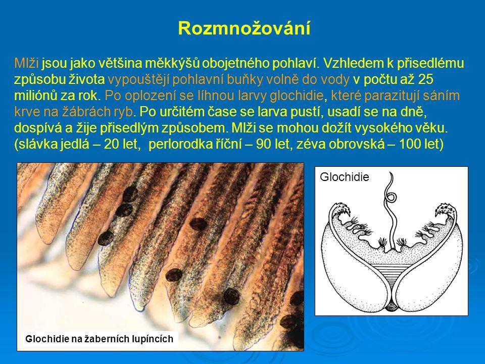 Glochidie na žaberních lupíncích