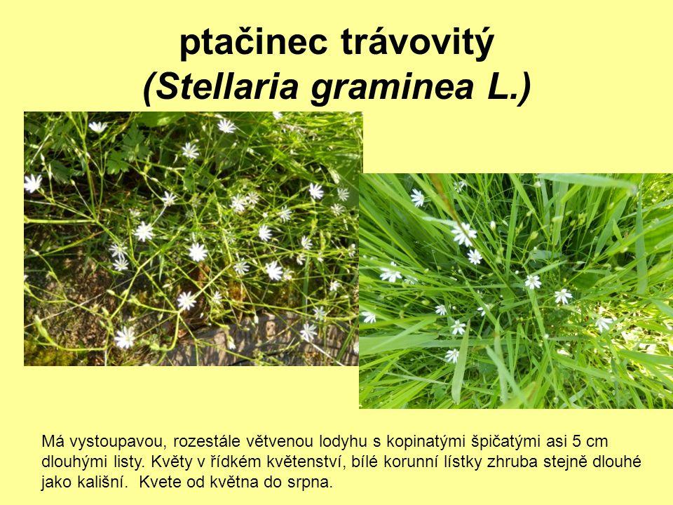 ptačinec trávovitý (Stellaria graminea L.)