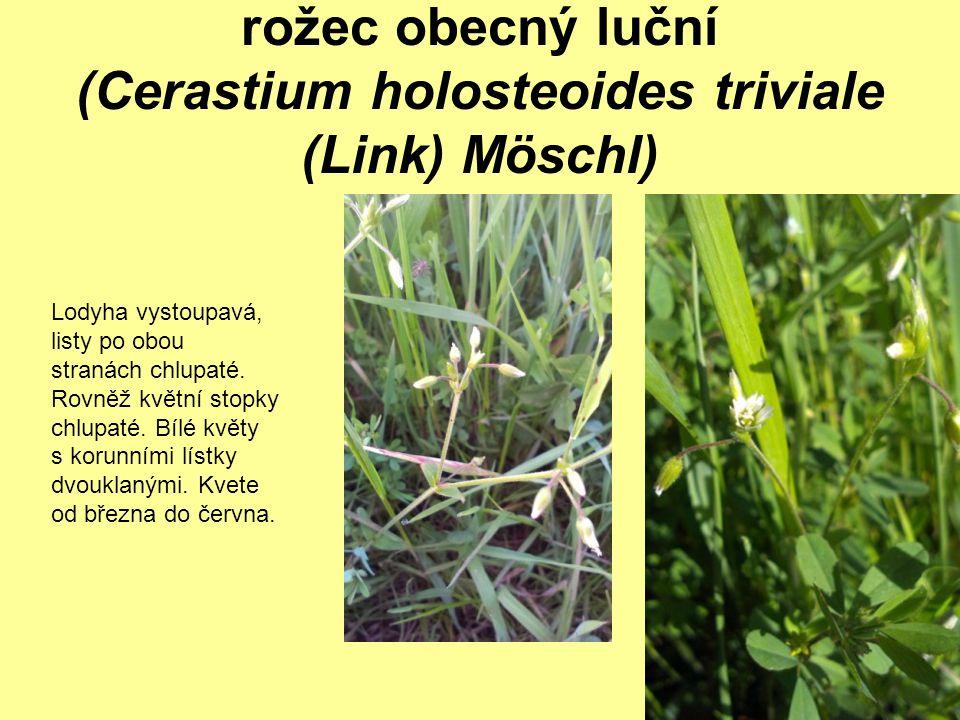 rožec obecný luční (Cerastium holosteoides triviale (Link) Möschl)
