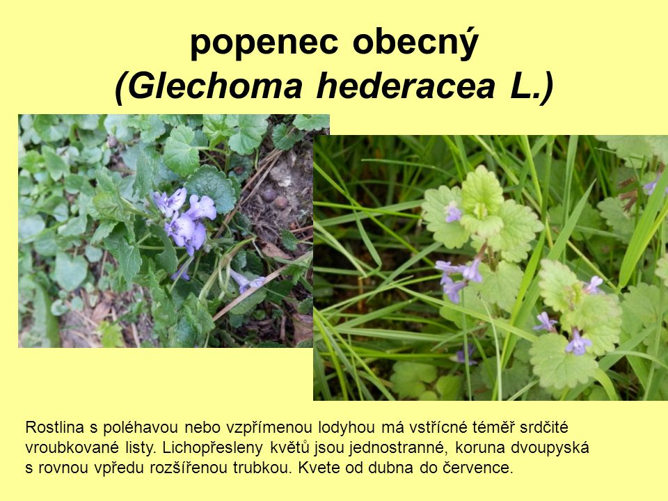 popenec obecný (Glechoma hederacea L.)