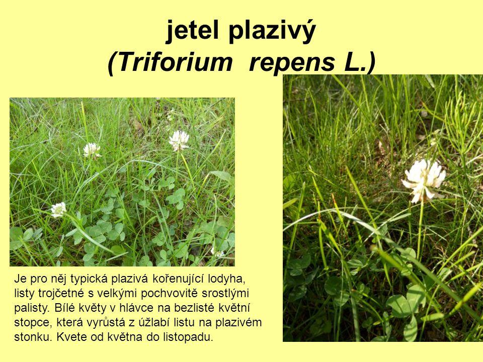 jetel plazivý (Triforium repens L.)