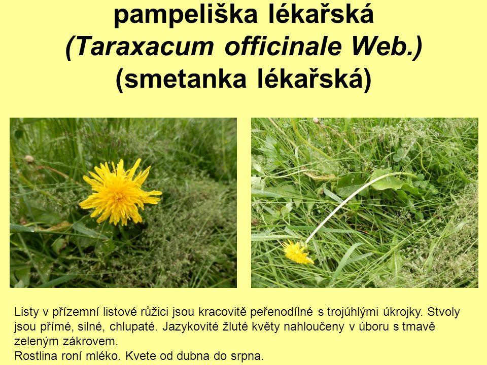 pampeliška lékařská (Taraxacum officinale Web.) (smetanka lékařská)