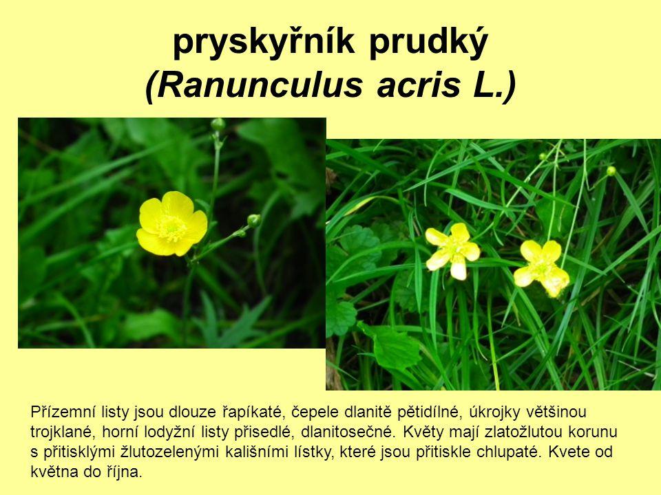 pryskyřník prudký (Ranunculus acris L.)